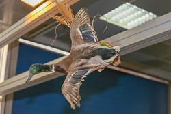 Wild Goose Bird in Flight Taxidermy Trophy