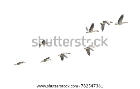 Wild Goose, Greylag Goose. The geese are migrating. Flying geese.