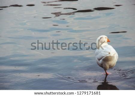Wild goose picture