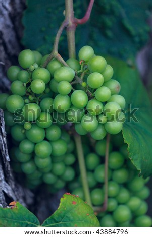 Wild grape, Chalkidiki, Greece