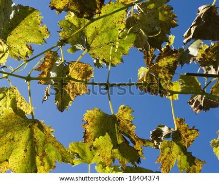 Wild grape leaf