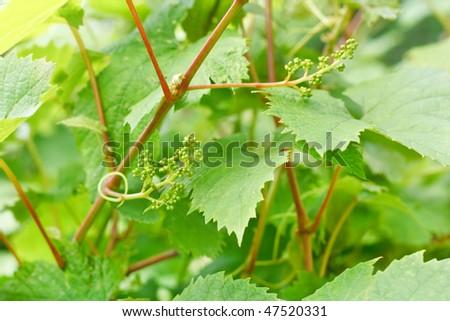 Wild grape leves