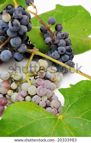Wild grapes and leaves in various degrees of ripeness