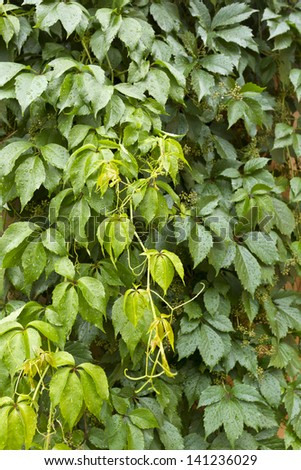 Wild grapes plant with buds after summer rain.Plant background/Wild grapes plant background