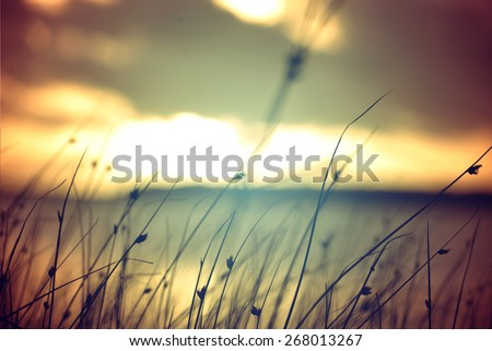 Wild grasses at golden summer sunset vintage landscape background.