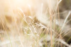 Wild grasses in a field. Beautiful autumn nature. Macro image, selective focus