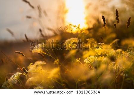 Wild grasses on the sea coast at sunset. Macro image, shallow depth of field. Beautiful autumn nature background