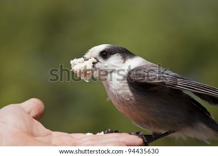 Wild Gray Jay feeding out of a person's hand