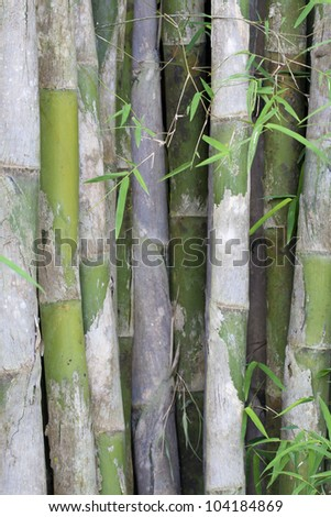 Wild green bamboo