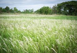 Wild green grass background, Thatched