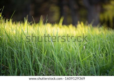Wild green grass. Natural background. Natural light.