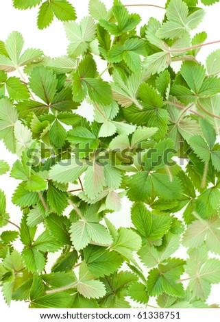 wild green strawberries leaf on white - stock photo