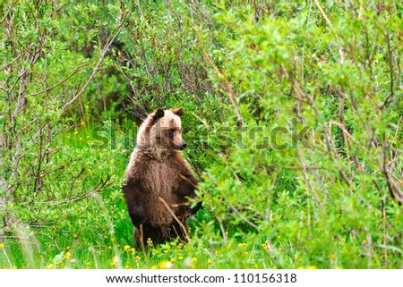 Wild Grizzly Bears, mother and cub, Kananaskis Country Alberta Canada