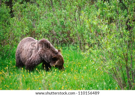 Wild Bears
