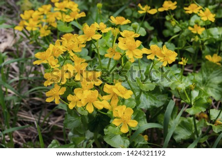Wild-growing flowering plant caltha palustris yellow flowers with petals and stamens green leaves. Marigold grows in the swamp Lots of yellow flowers, wildlife, low key #1424321192