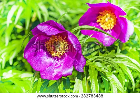 Wild-growing herb of Siberia Maryin koren (Latin Paeonia anomala)
