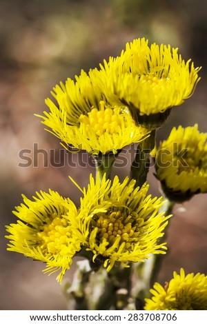 Wild-growing herb of Siberia Mati i Macheha (Latin Tussilago). Group of flowers