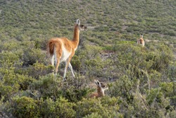 Wild Guanaco (Lama guanicoe) and pup (Chulengo) hiding from the camera on a coastal reserve in Chubut, Patagonia Argentina