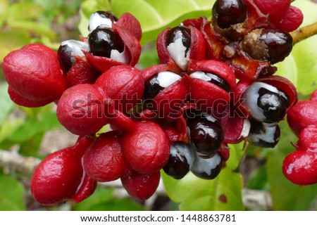 Wild guarana shrubs with fruits (Paullinia cupana) growing on the edge of the rainforest near Manaus in the Amazon region, Brazil