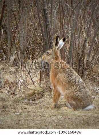 Wild hare in a field #1096168496