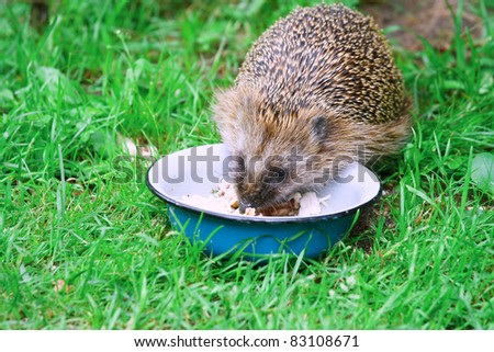 Wild Hedgehog eating from a dog bowl