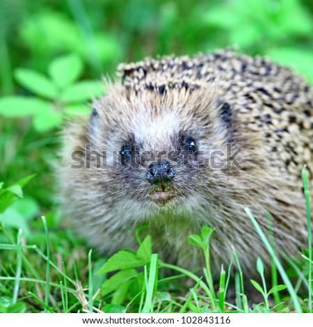 Wild hedgehog on the green grass background