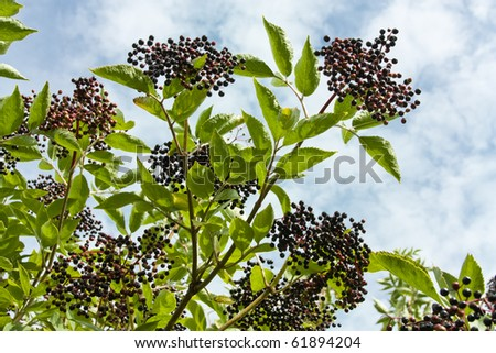 Wild Hedgerow Elderberries in early Autumn ready for picking.