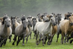 Wild herd of Duelmen Ponies at a gallop, Germany