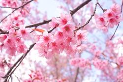 Wild Himalayan Cherry Blossoms in spring season, Prunus cerasoides, Pink Sakura Flower For the background