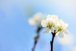 Wild Himalayan Cherry, Thai Cherry Blossom at Doi Angkhang, Chiangmai
