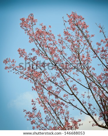 Wild Himalayan cherry tree in Thailand