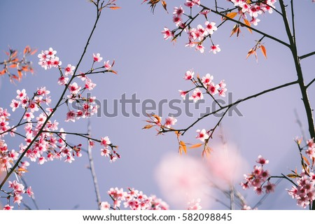 Wild Himalayan Cherry with blue sky and cloud background. Thai sakura blooming during winter in Thailand