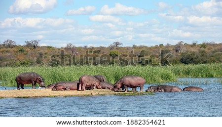 Wild hippos rest on the island and in the water of the Zambezi River. A herd of uneven-aged hippos sunbathe and digest their food on a sandy island.  Photo stock ©