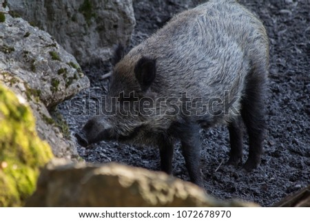 Wild hog in the wild   #1072678970