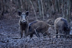 Wild hogs rooting in the mud in the evening
