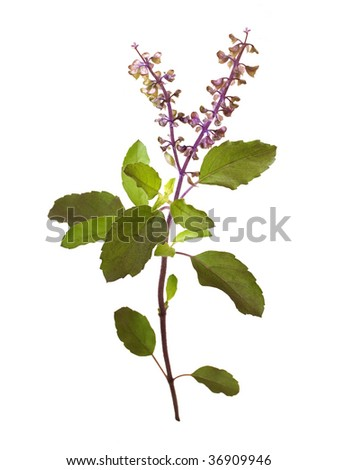 Wild Holy Basil Tulasi in flower isolated with clipping path