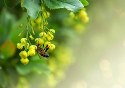 Wild honey bee on the yellow flowers of an barberry (Berberidaceae), on a abstract background. Effect bokeh. World Environment Day