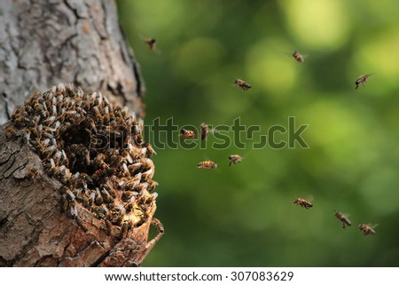 Wild honey bees Apis mellifera flying around the nest in a hot day. Some return with full pollen baskets to their nest located in old hollow.