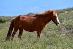 Wild Horse at Shackleford Banks Island, Outer Banks, North Carolina