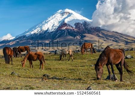 Wild Horse Cotopaxi National Park Ecuador