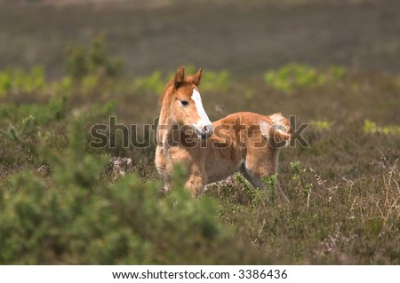 Wild horse foal standing amongst the heather.