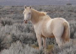 Wild Horse (free-roaming)
