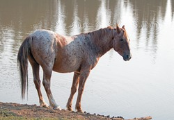 Wild Horse - Red Roan Stallion at the waterhole in the Pryor Mountains Wild Horse Range in Montana United States