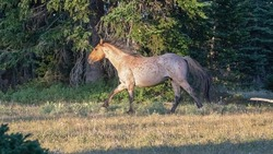 Wild Horse Red Roan Stallion trotting in the Pryor Mountains Wild Horse Range on the Montana Wyoming border in the United States