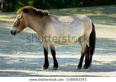Wild horse Tarpan (Equus ferus ferus), back breeding, zoo Hellabrunn, Munich, Bavaria, Germany Stok fotoğraf ©