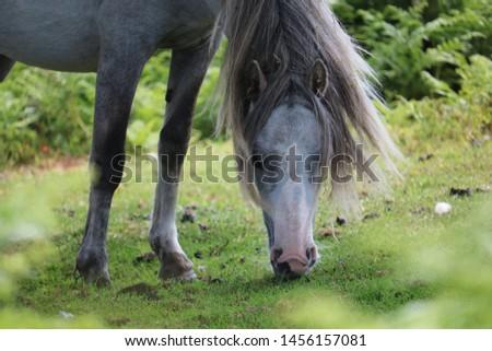 Wild horse - White horse eating grass - Long Mynd Church Stretton #1456157081