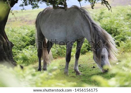 Wild Horse - White Horse Eating under a tree - Long Mynd near Church Stretton #1456156175