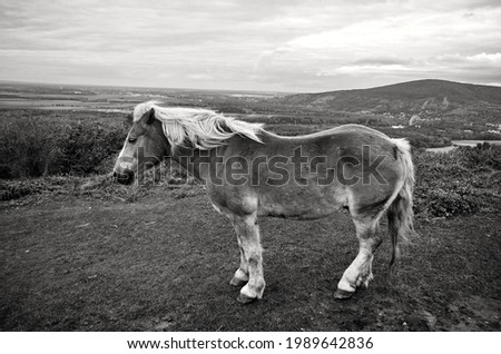 Wild horse with a view of nature and landscape in black and white photography. Konik, Tarpan Eurasian. Black and white photography with wild horse.  Stok fotoğraf ©