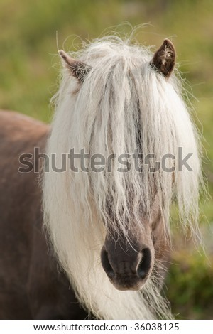 wild horse with lang mane in the field at Grayson Highlands State Park in Virginia, USA