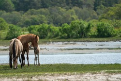 Wild horses and ponies walking and running on beach at Assateague Island during summer.